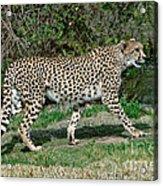 Cheetah Strolling Acrylic Print