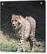 Cheetah Strutting Acrylic Print