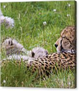 Cheetah With Cubs Acrylic Print
