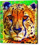 Face Of The Cheetah Acrylic Print
