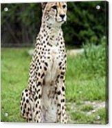 Cheetah's 01 Acrylic Print