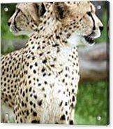 Cheetah's 04 Acrylic Print
