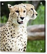 Cheetah's 05 Acrylic Print