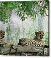 Cheetahs-120 Acrylic Print