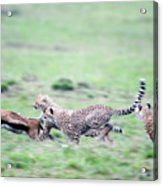 Cheetahs Acinonyx Jubatus Chasing Acrylic Print