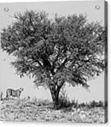 Cheetahs And A Tree Acrylic Print