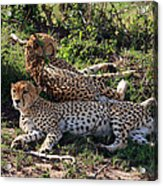 Cheetahs Of The Masai Mara Acrylic Print