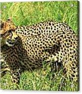 Cheetahs Running Acrylic Print