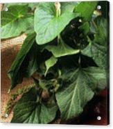 Chenopodium Bonus-henricus Acrylic Print