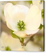 Cherokee Princess Dogwood Blossom In Beige Acrylic Print
