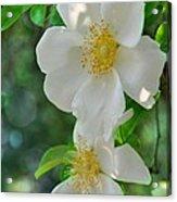 Cherokee Roses Acrylic Print