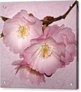 Cherrie Blossom Acrylic Print