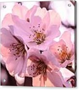 Cherry Blosom. Acrylic Print