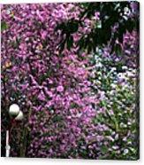 Cherry Blossom 3 Acrylic Print