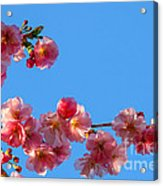 Cherry Blossom Against Blue Sky Acrylic Print