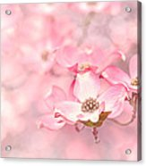 Pink Dogwood Blossoms Acrylic Print