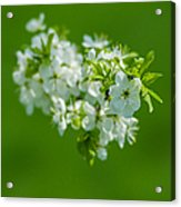 Cherry Blossom Featured 3 Acrylic Print