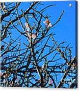Cherry Blossom II Acrylic Print