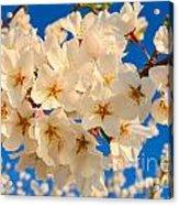 Cherry Blossom Macro Acrylic Print