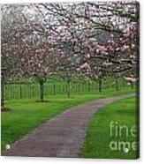 Cherry Blossom Path Acrylic Print