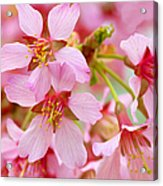 Cherry Blossom Special II Acrylic Print