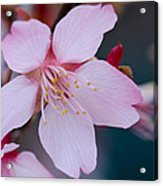 Cherry Blossom Special Acrylic Print