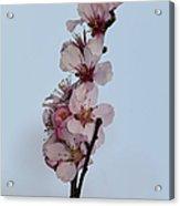 Cherry Blossom Sprig Acrylic Print