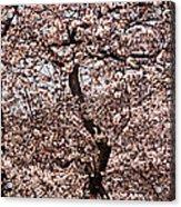 Cherry Blossom Trees In Potomac Park Acrylic Print