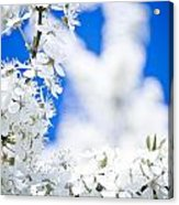 Cherry Blossom With Blue Sky Acrylic Print