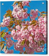 Cherry Blossoms 2 Acrylic Print