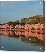 Cherry Blossoms 2013 - 001 Acrylic Print