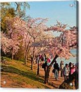 Cherry Blossoms 2013 - 007 Acrylic Print
