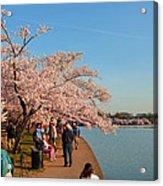 Cherry Blossoms 2013 - 010 Acrylic Print