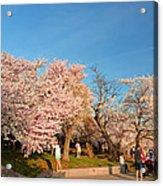Cherry Blossoms 2013 - 015 Acrylic Print