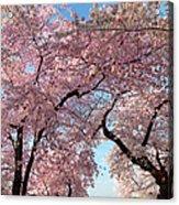 Cherry Blossoms 2013 - 025 Acrylic Print