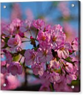 Cherry Blossoms 2013 - 031 Acrylic Print