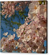 Cherry Blossoms 2013 - 035 Acrylic Print by Metro DC Photography