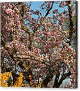 Cherry Blossoms 2013 - 051 Acrylic Print