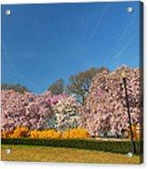 Cherry Blossoms 2013 - 052 Acrylic Print
