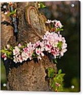 Cherry Blossoms 2013 - 064 Acrylic Print