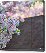 Cherry Blossoms 2013 - 066 Acrylic Print by Metro DC Photography