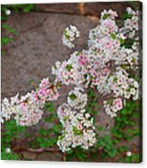Cherry Blossoms 2013 - 067 Acrylic Print by Metro DC Photography