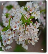Cherry Blossoms 2013 - 068 Acrylic Print