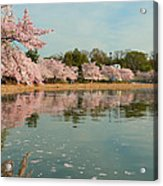 Cherry Blossoms 2013 - 083 Acrylic Print by Metro DC Photography