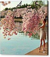Cherry Blossoms 2013 - 085 Acrylic Print