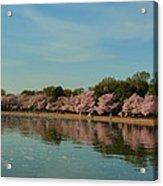 Cherry Blossoms 2013 - 088 Acrylic Print