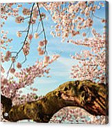 Cherry Blossoms 2013 - 089 Acrylic Print by Metro DC Photography
