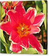 Cherry Blossoms 2013 - 093 Acrylic Print