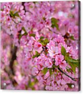 Cherry Blossoms 2013 - 096 Acrylic Print