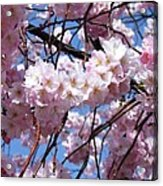 Cherry Blossom Trees Of Branch Brook Park 3 Acrylic Print